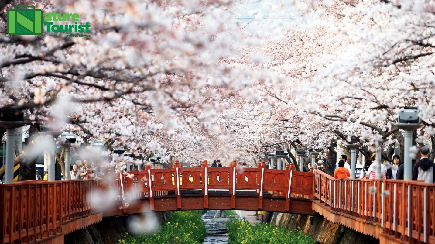 Tour du lịch Hàn Quốc: Đến Seoul ngắm hoa anh đào